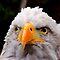 Raptors: Birds of Prey