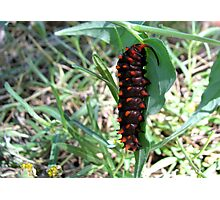 Pipevine Swallowtail caterpillar Photographic Print