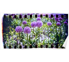 lovely purple sprocket flower Poster