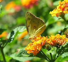Orange Sulpher Butterfly by Sherry Pundt