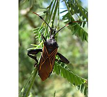 Giant Mesquite Bug Photographic Print