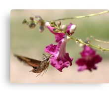 White-lined Sphinx Moth Canvas Print