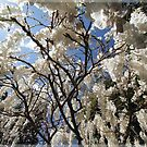 White Wisteria by Adriano Carrideo