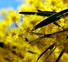 wattle by natalie angus