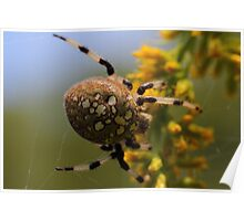Shamrock Orbweaver on Goldenrod  Poster