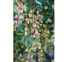 Dangling Pods Photographic Print