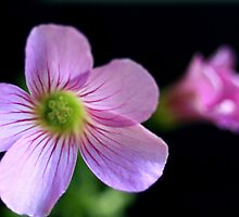 Oxalis by Keith G. Hawley