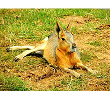 Patagonian Mara at Rest Photographic Print