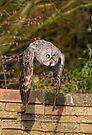 Great Grey Owl by Val Saxby
