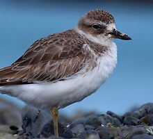 New Zealand Dotterel by Peter Deverell