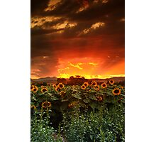 August Sunflower Skies Photographic Print