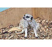 Meerkat gaze Photographic Print
