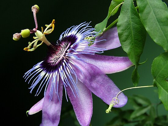 Passion Flower by kkmarais
