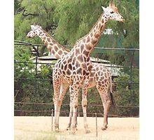 Mum and Dad - Girafe at the Zoo Photographic Print