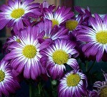 Splash of Colour - Purple Daisies by Carol Appelbee