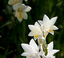 Arum Lilies by palmerphoto