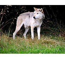 Grey Wolf One Photographic Print