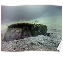 Hermit Crab - Ras Mohammed - Red Sea Poster