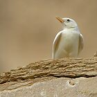 Albino Desert Lark by David Clark
