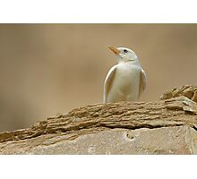 Albino Desert Lark Photographic Print
