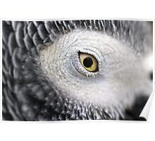 Yellow Eye - African Grey Parrot Poster