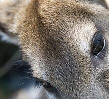 Kangaroo Closeup by palmerphoto