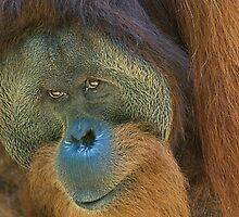 Sumatran Orangutan Male by Kathy Newton
