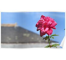 Chateau-backed rose Poster