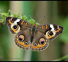 Common Buckeye butterfly... by pieceoflace