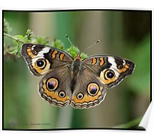 Common Buckeye butterfly... Poster