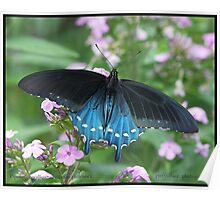 Pipevine Swallowtail butterfly... Poster