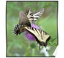 Eastern Tiger Swallowtails on thistle... Poster