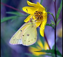Orange Sulphur butterfly on wild Golden Aster... by pieceoflace