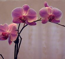Lovely Orchids 3 by imokru3