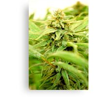 Club Purps Bud Canvas Print