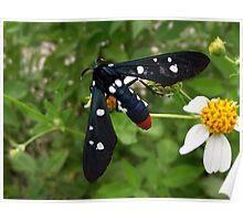 Polka Dotted Wasp Moth Poster