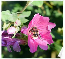 Bee on Beautiful Pink Flower Poster