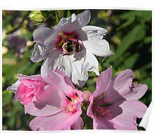 Bee on White Flower Poster