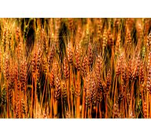 Golden Canadian Wheat Photographic Print