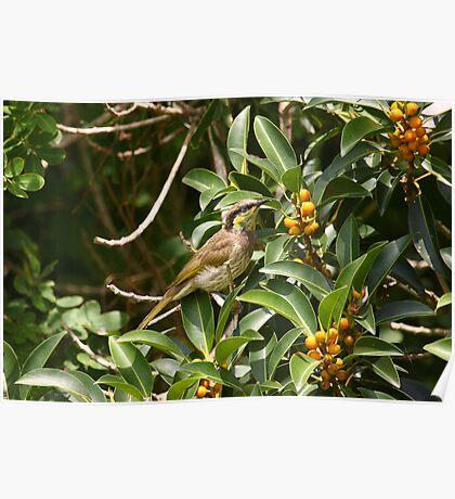 Mangrove Honeyeater Poster