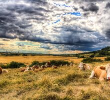 Resting Cows by DavidHornchurch