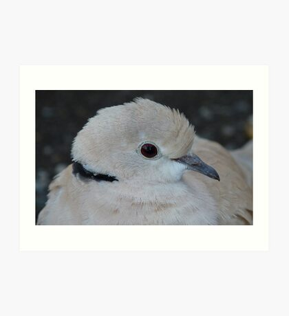 Whats up Doc!! - African Collared Dove - NZ - Southland Art Print