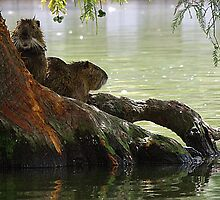 Nutria on Cypress by Alison M