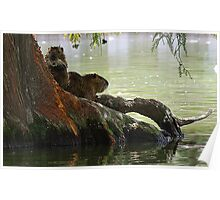 Nutria on Cypress Poster