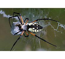 Argiope Spider Photographic Print