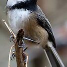 Chickadee: Macro View of a Spritely Bird by Wolf Read