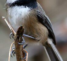 Chickadee: Macro View of a Spritely Bird by Wolf Read