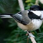 The Boisterous Black-Capped Chickadee by Wolf Read