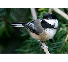 Chickadee: Among Feathery Evergreen Boughs Photographic Print