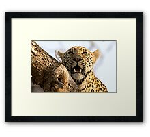 Induna - Young Male Leopard Framed Print